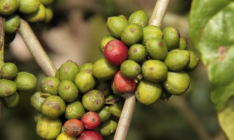 Semagric beneficia reassentamento Santa Rita e Morrinhos com café clonal e tanque de resfriamento
